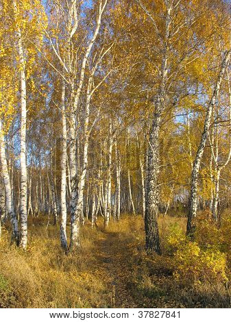Path in a gold birch grove. Autumn landscape.