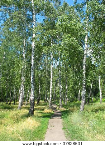 Path in a birch grove. Summer landscape.