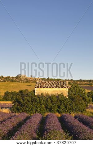 A lavender field in Provence.