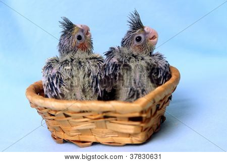 Two cockatiel parakeet baby