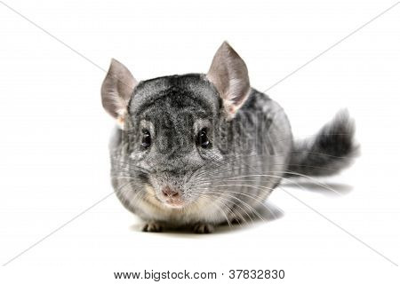 Chinchilla isolated on white