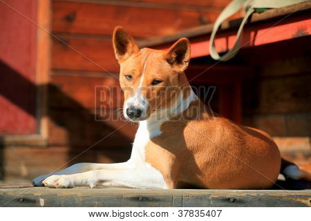 Basenji-dog on the porch