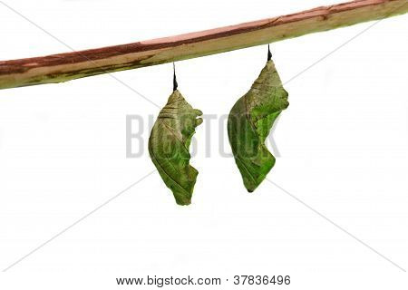 The pupa of the butterfly