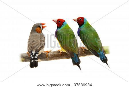 Two Gouldian Finch and Zebra Finch