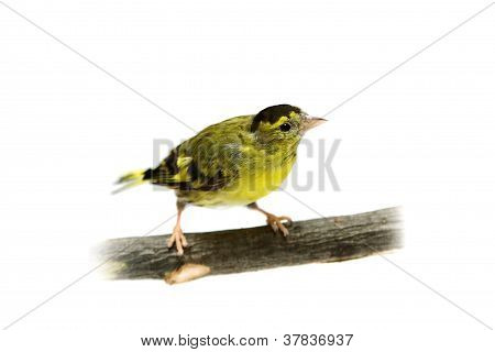 The male of Eurasian Siskin