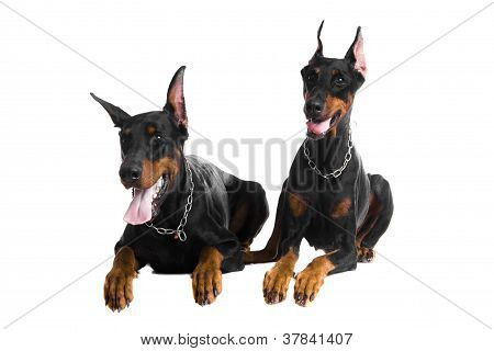 Two black dobermans