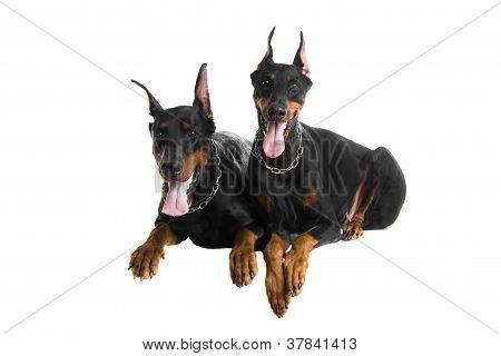 Two black dobermans