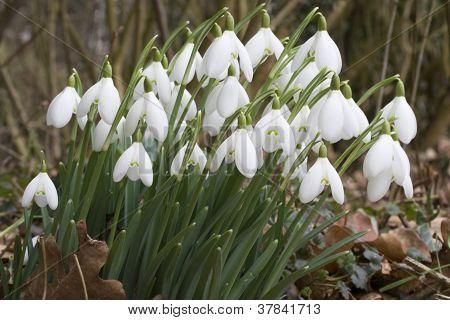 Galanthus Nivalis - Snowdrops