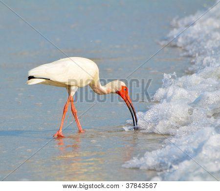 Beautiful White Ibis