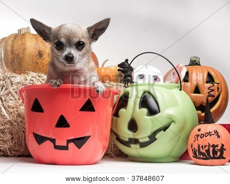 Cute Chihuahua With Halloween Pumpkins And Candy