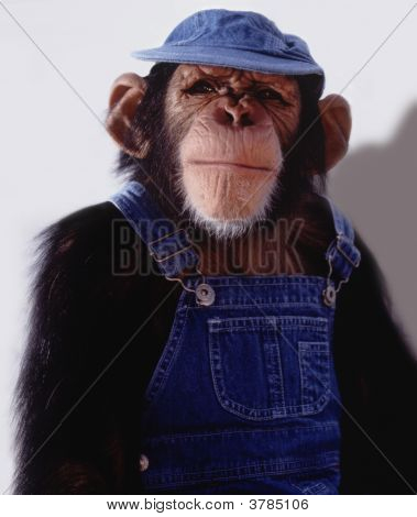 Chimpanzé do agricultor