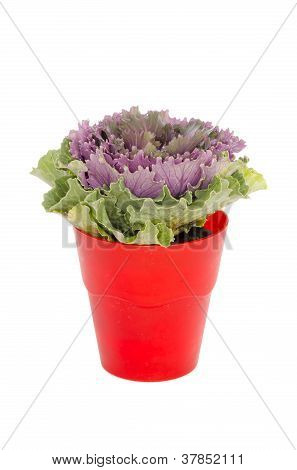 purple cabbage in pot isolated