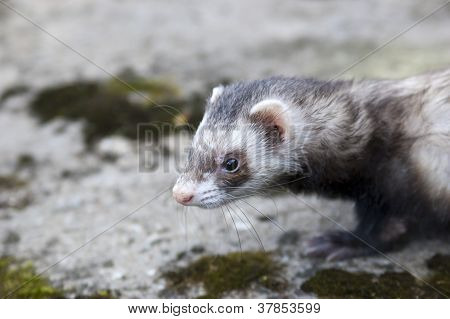 Ferret Thinking About Who Will Catch Today
