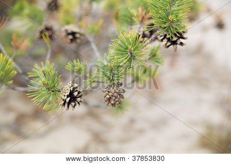 Few Pinecone Hang On Full On Needles
