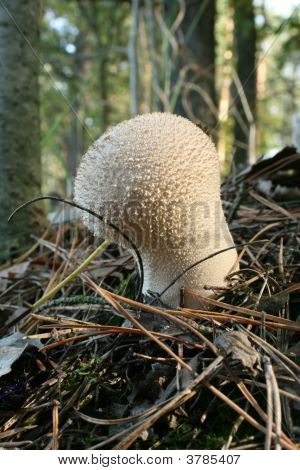 The Eatable Fungus With White Head.