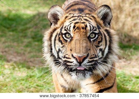 Close Up Head Shot Of Sumatran Tiger