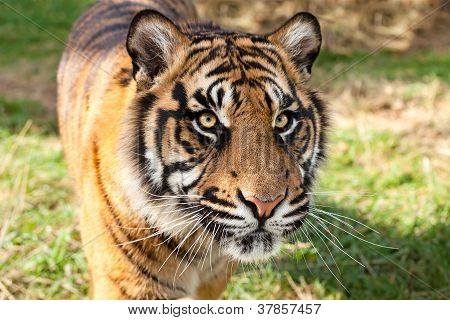 Close Up Of Sumatran Tiger In Afternoon Sunshine