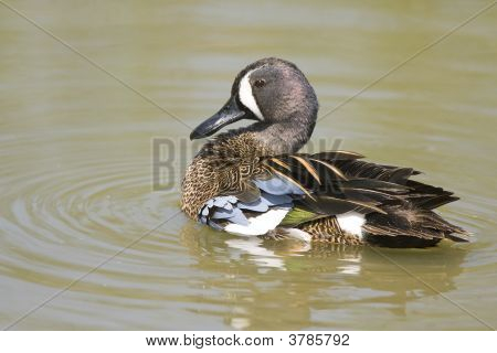 Blue-Winged Teal Swimming