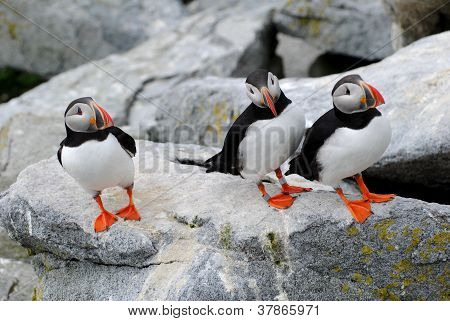 Socializing Puffins