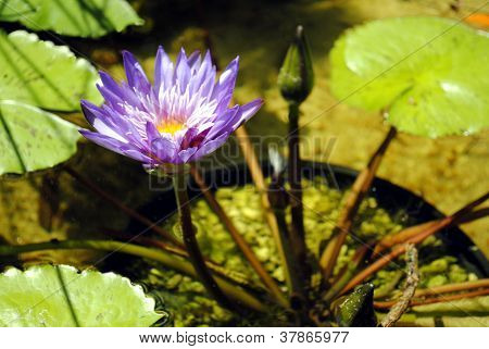 Water lily flower (Nymphaea colorata) in a pond