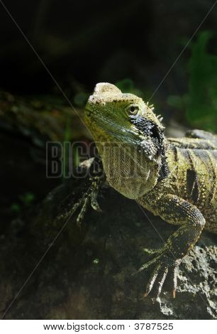Rare New Zealand Tuatara Lizard