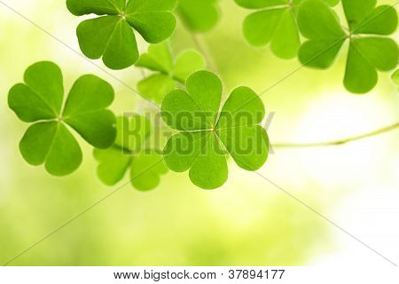 Three Leaf Clovers For Backgrounds