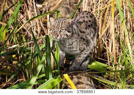 Fishing Cat Hunting In Long Grass