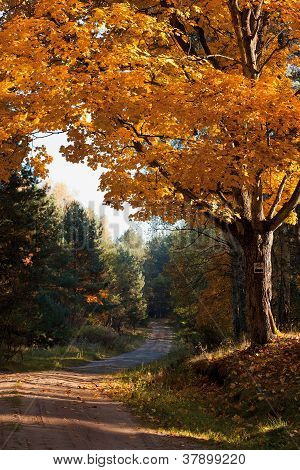 Autumnal Tree In Forest