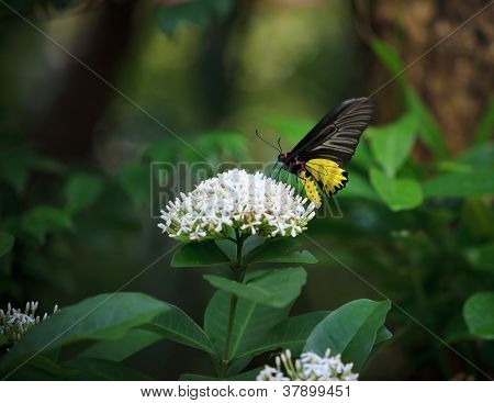 yellow butterfly on whtie flower and  green tree leaves