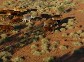 picture of mustering  - cattle mustered from helicopter near windorah queensland australia - JPG