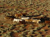 image of mustering  - cattle mustered from helicopter near windorah queensland australia - JPG