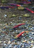 stock photo of spawn  - spawning kokanee salmon in fresh water streem - JPG