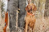 picture of vizsla  - vizsla hunting dog sitting at heel outdoors - JPG