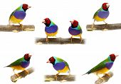 stock photo of ruddy-faced  - Gouldian Finch  - JPG