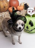 foto of warlock  - Cute chihuahua dressed in green witch hat for halloween - JPG