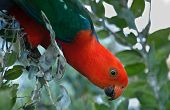 King Parrot Reaching  Out
