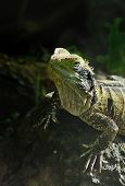 stock photo of tuatara  - One of the world - JPG
