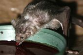 stock photo of rabies  - Vampire Bat drinking some blood from a bowl taken with macro lens. Scientific name - Desmondus rotundus.