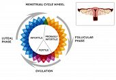 stock photo of menstruation  - Menstrual cycle calendar - JPG