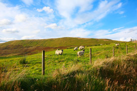 picture of carron  - Sheep in Carron Valley - JPG