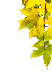 picture of fall leaves  - Branch of maple isolated over white background - JPG