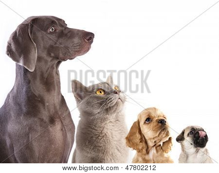 Cocker Spaniel puppy and  British cat