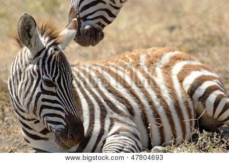 Baby Zebra Lying