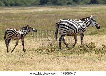 Baby Zebra With Mother