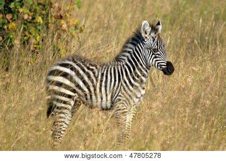 Baby Zebra Standing