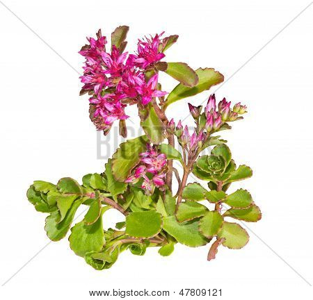Sedum Causticola Plant With Pink Flowers