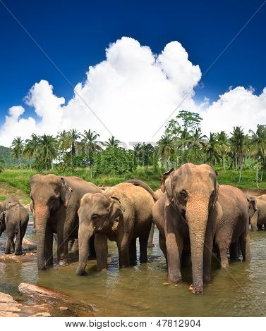 Elephants in the river and clear blue sky