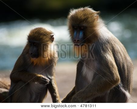 Colorful Mandrills