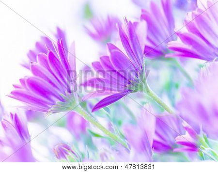 Closeup on gentle pink daisy flowers, fresh chamomile field, fine art, soft focus, natural background, blooming nature