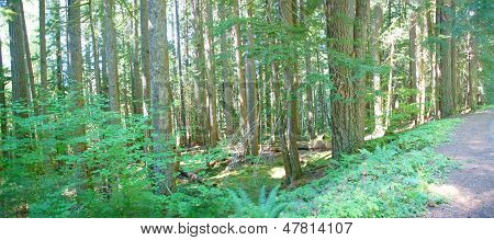 Ferns And Shrubs  Of Old Growth Conifer Forest